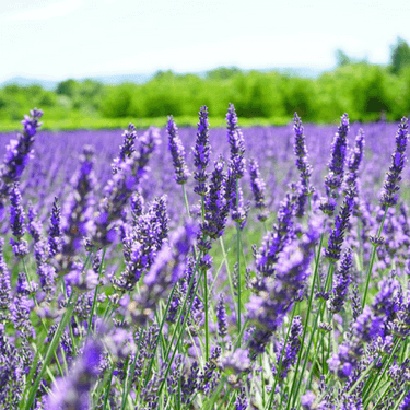Lavender Field - Aroma of lavender